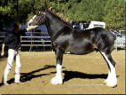 Redd Barney's Commanders Mark winning the 2010 Draft Horse Classic Grand Champion Clydesdale Stallion.